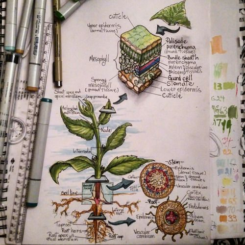 herbaceouswoodys: Plant physiology class review  If you're