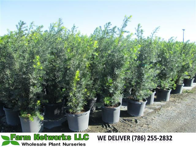 podocarpus miami | Your premier grower of tropical plants, We deliver