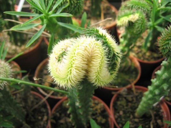 "Euphorbia Suzannae ""Cristáta"" -"