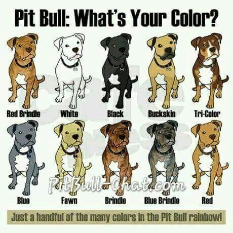 Color Bread Pitbull Terrier American Pitbull Terrier Pitbull