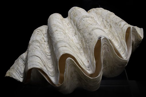100 Free Clam Shell Clam Images Pixabay Giant Clam Sea Shells Shells