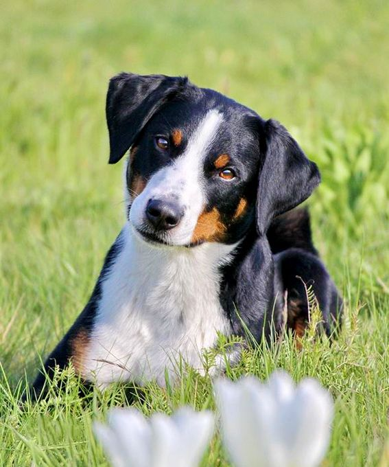 Appenzeller Sennenhunde Dog Breed Information Pictures Characteristics Facts Dogtime Dog Breeds Tiny Dog Breeds Dog Names
