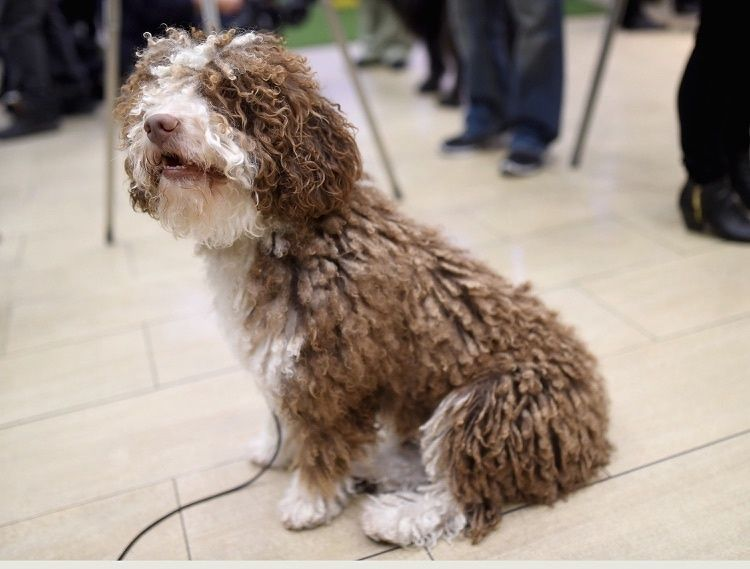 The Spanish Water Dog is one of 7 new breeds accepted by