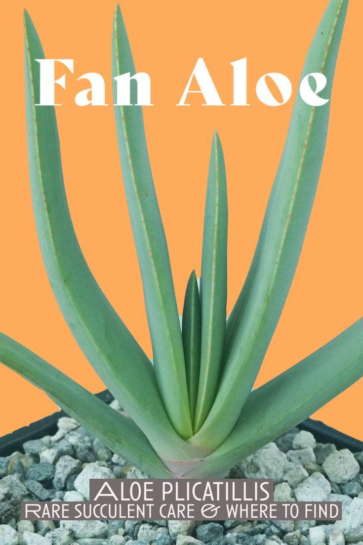 Photo of Fan Aloe – Aloe plicatillis