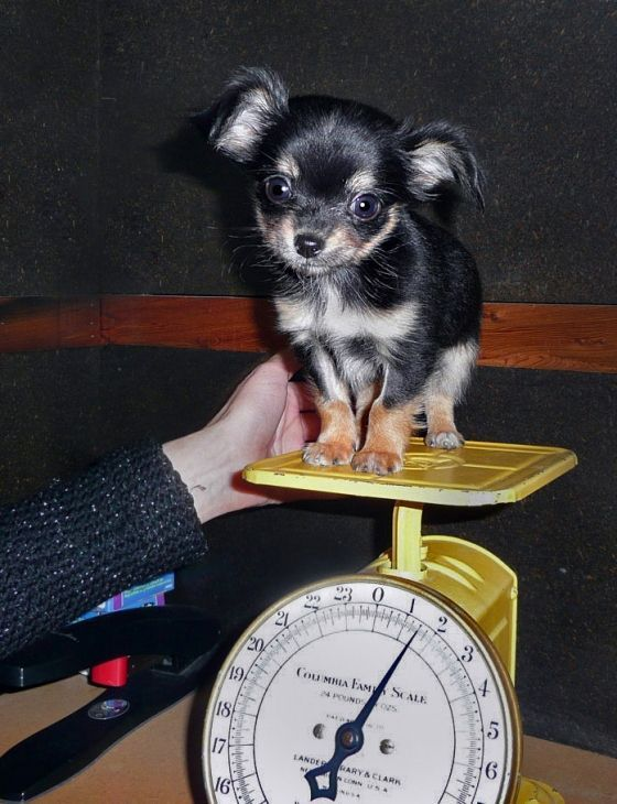 This cutie-pa-tootie looks just like my 'Trinka' ... adorable! #chihuahua