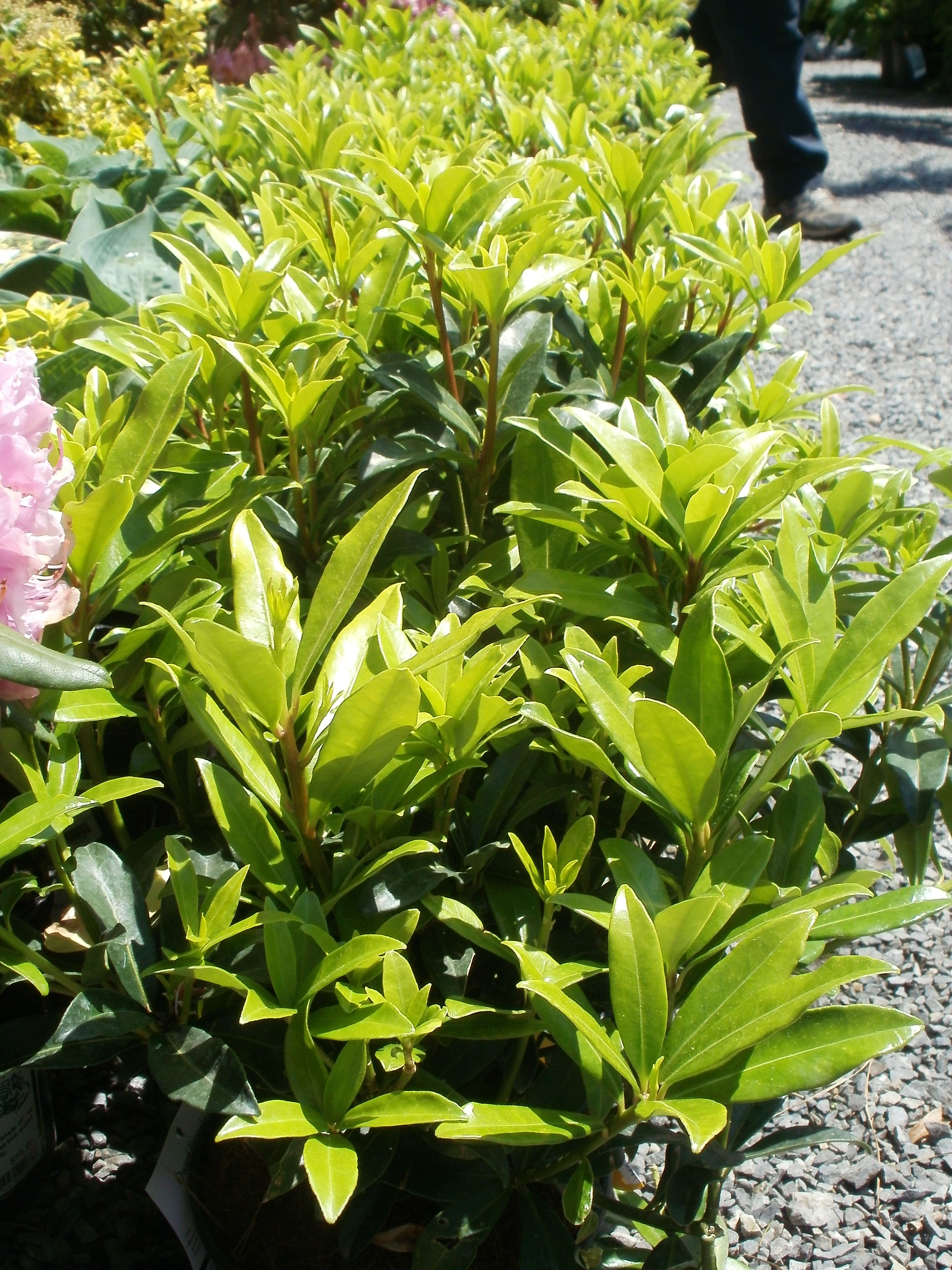 Dwarf Skimmea Reaching Around 2 X2 This Broad Leaf Evergreen Is