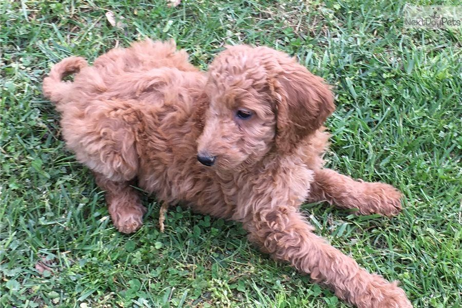 Goldendoodle Puppy For Sale Near Gadsden Anniston Alabama