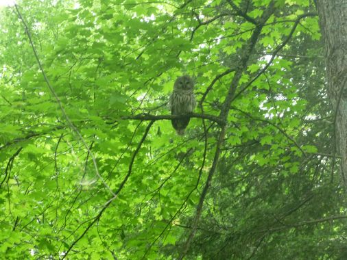 Mother owl (the baby not far off)