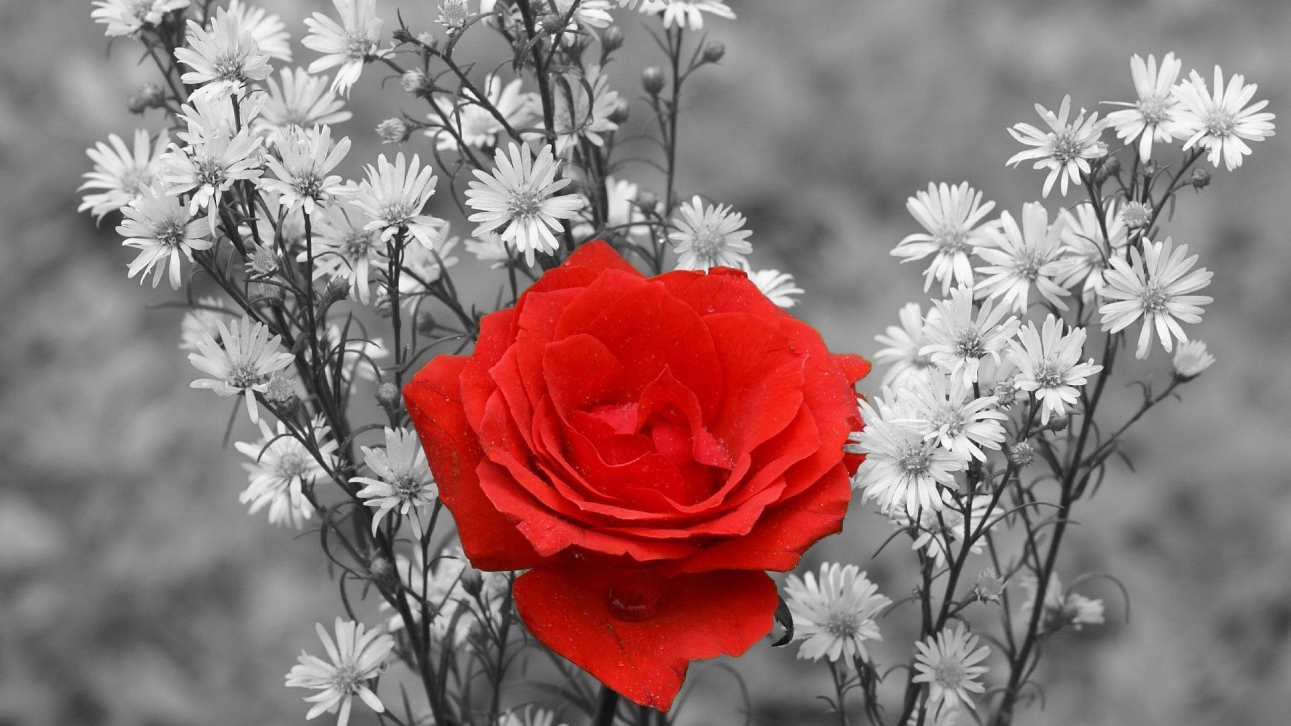 Red Rose Wallpaper 2560 1440 High Definition Wallpaper Daily