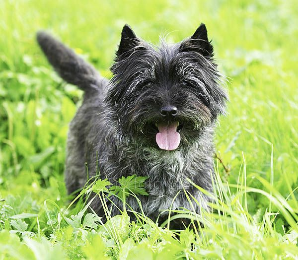 He Could Be My Gizmo Cairn Terrier Terrier Cairn