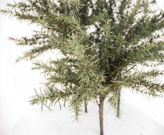 Amazon.com - Rosemary Topiary Bush, Green, 27 Inch High, Set of 3 Bushes -