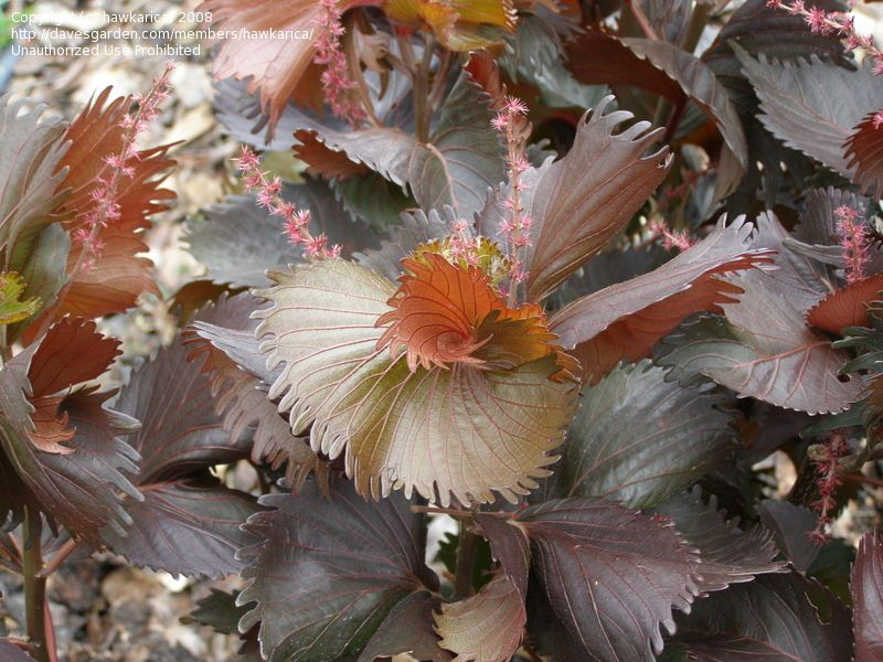 This Is A Rare Variety Called Copper Plant Acalypha Wilkesiana