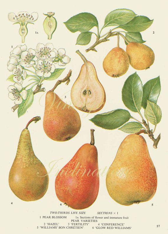 Vintage Botanical Print Antique PEAR VARIETIES 57, plant print ...