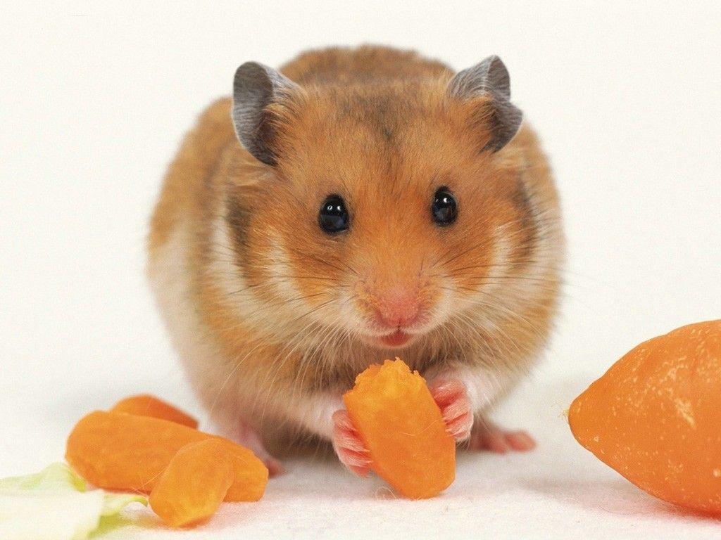 Hamster Desktop Wallpapers And Stock Photos Cute Hamsters Syrian Hamster Cute Animals