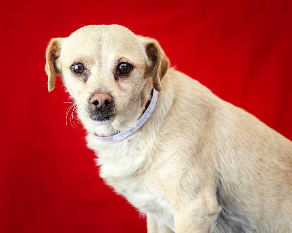 Chihuahua dog for Adoption in Pasadena, CA. ADN581830 on