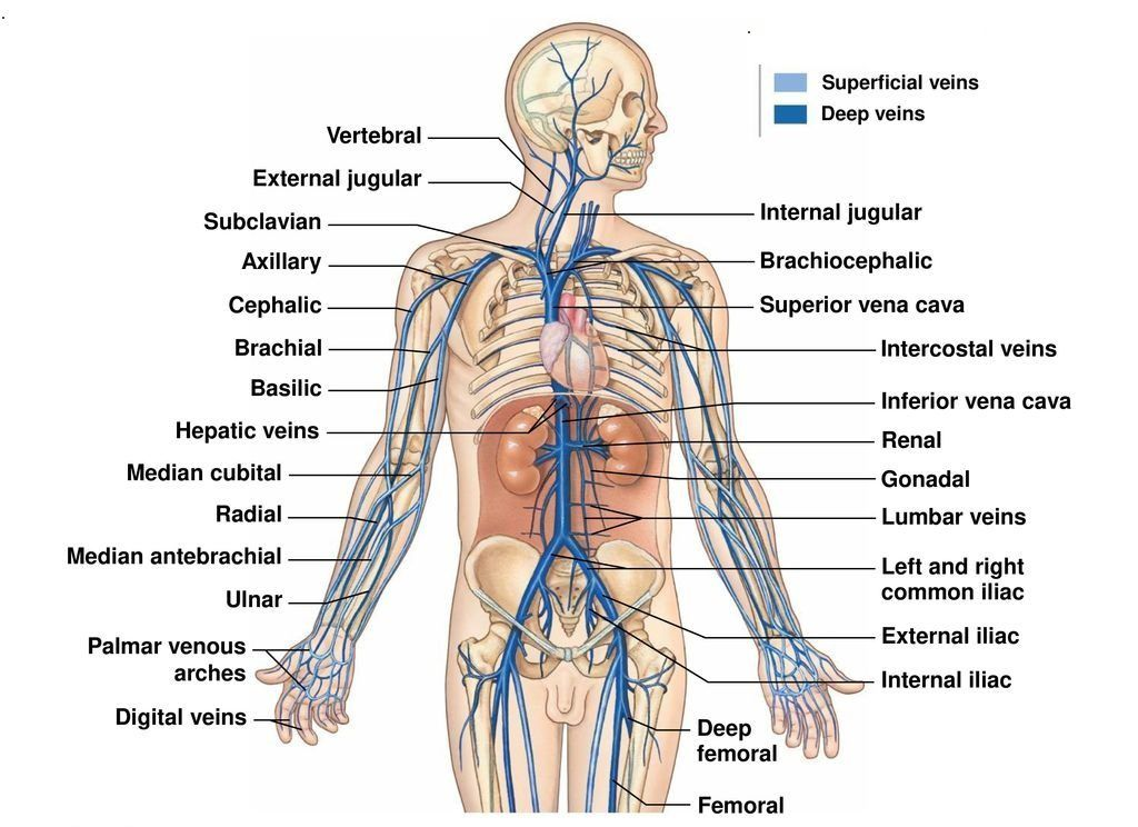 Veins Typesvenous System Clinical Significance Anatomy
