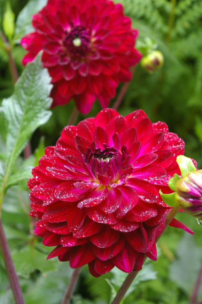 Burgundy Dahlia blooms all summer and can take the heat