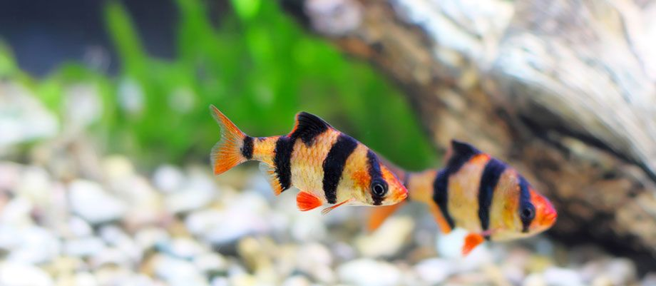 Two Beautiful Tiger Barbs Swimming Together Tigerbarb Aquatic Petfish Fish Aquarium Fish Tiger Fish Tropical Freshwater Fish