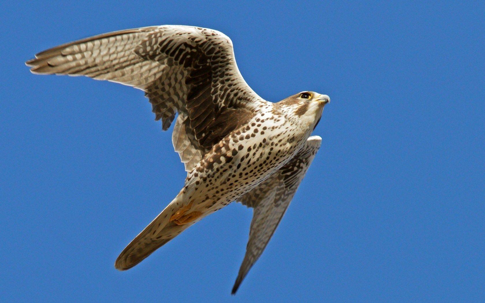 Falcon | Birds flying, Birds, Birds in flight
