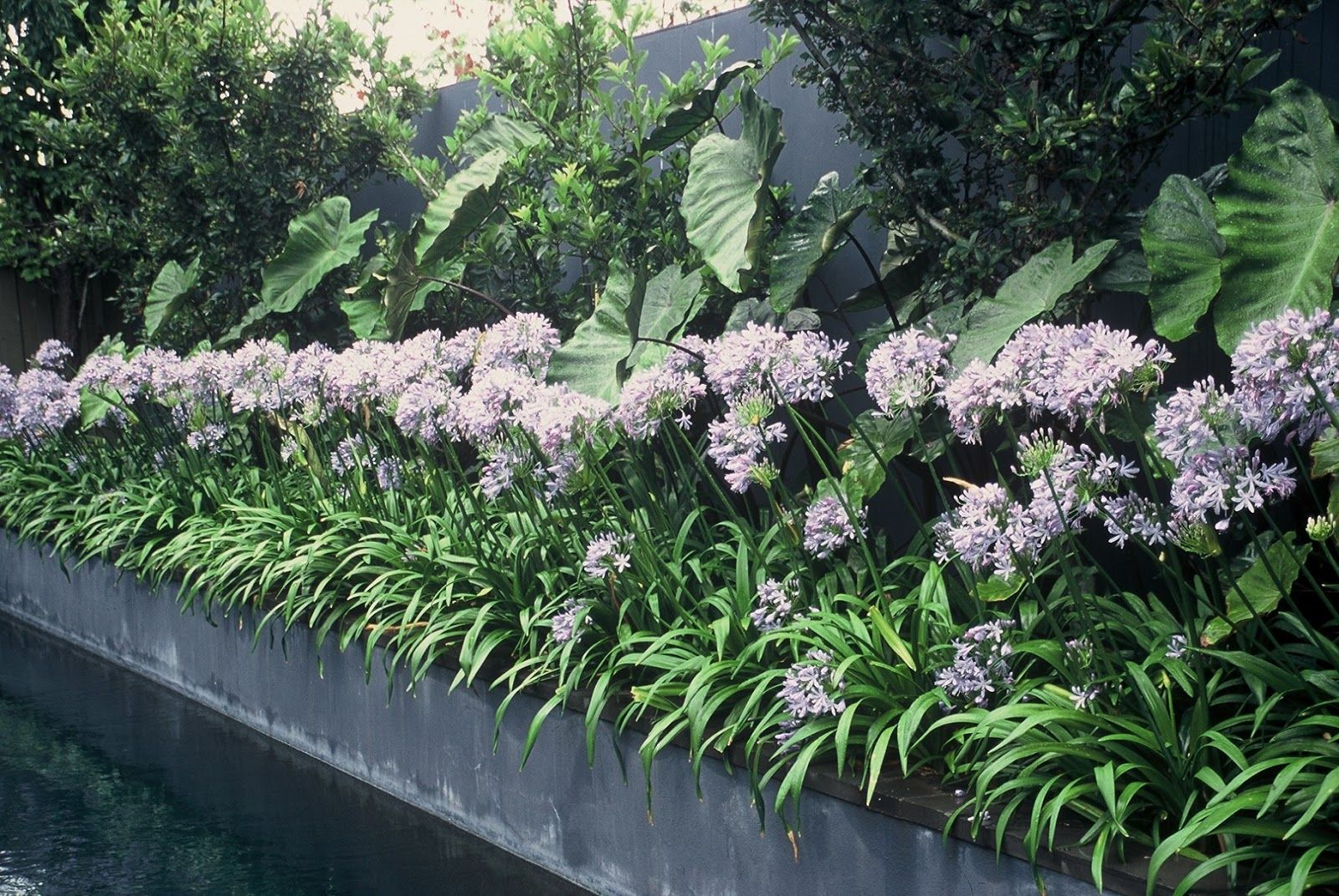 Gardens with agapanthus google search plants pinterest gardens with agapanthus google search dhlflorist Images