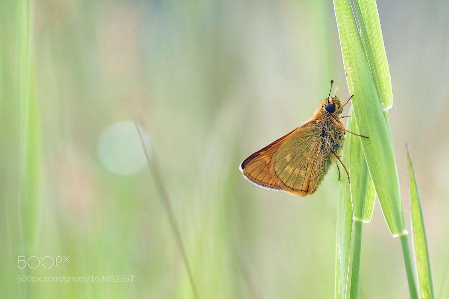 Large Skipper by Paul-Muntel #nature #photooftheday #amazing #picoftheday