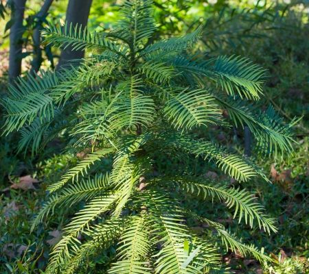 The Sacramento Zoo is home to a wide variety of plants, including the Wollemi Pine, once thought to be extinct.