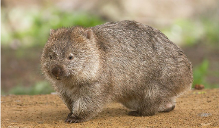 Cinco cosas que no sabías sobre los marsupiales