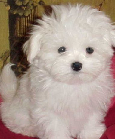 Dillon 8 Weeks Old Teacup Puppies Maltese Cute Dogs Dog Friends