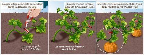 fiche pratique tailler les plantes coureuses au potager jardin pinterest potager. Black Bedroom Furniture Sets. Home Design Ideas