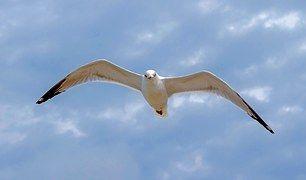 Gaviota Volando Cielo Ave Volar Gaviotas Volando Volar
