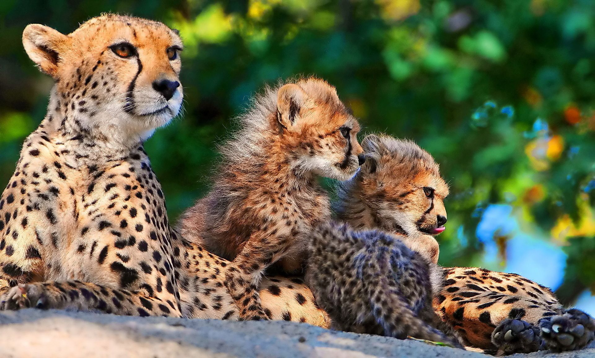 Cheetah Backgrounds Free Download Wallpapers Backgrounds Images Art Photos Cheetah Pictures Cheetah Wallpaper Baby Cheetahs