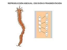 Reproduccion asexual escision ejemplos
