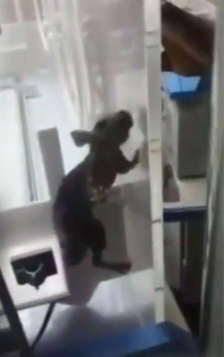 Filman a una rata en la incubadora de un bebé  entonces las cosas toman un giro aterrador #viral