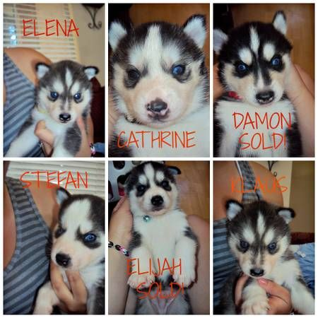 So I Was On Craigslist Looking At Puppies And Someone Named Them After Characters Off Vampire Diaries Makes Me Want Them That Much Mo Puppies Animals