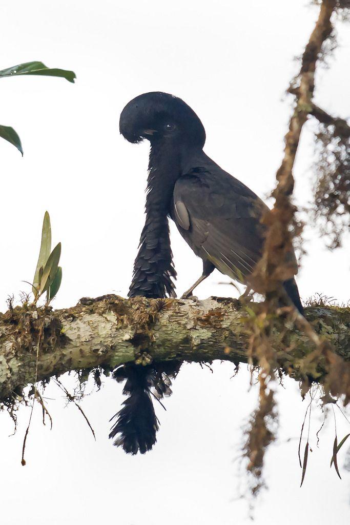 Cephalopterus penduliger - Long-wattled Umbrellabird - Paragüero ...