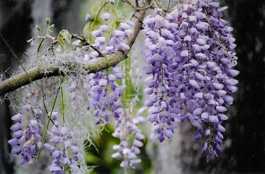 Wisteria and moss