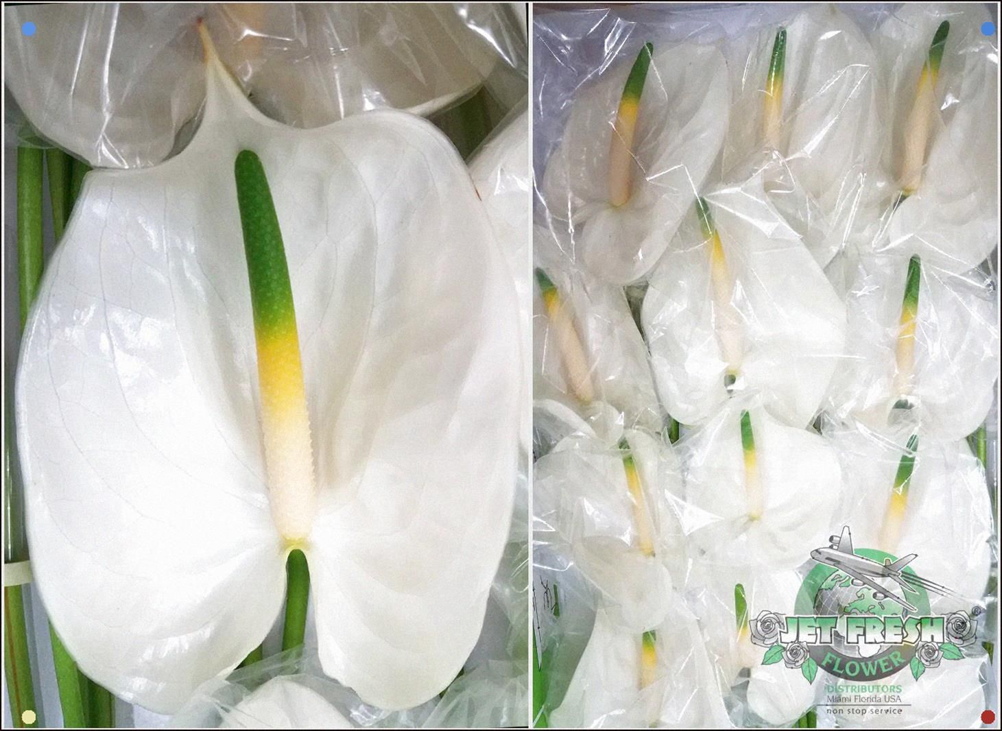 Anthurium White Heart Anthurium Anthurium Plant Shade Plants