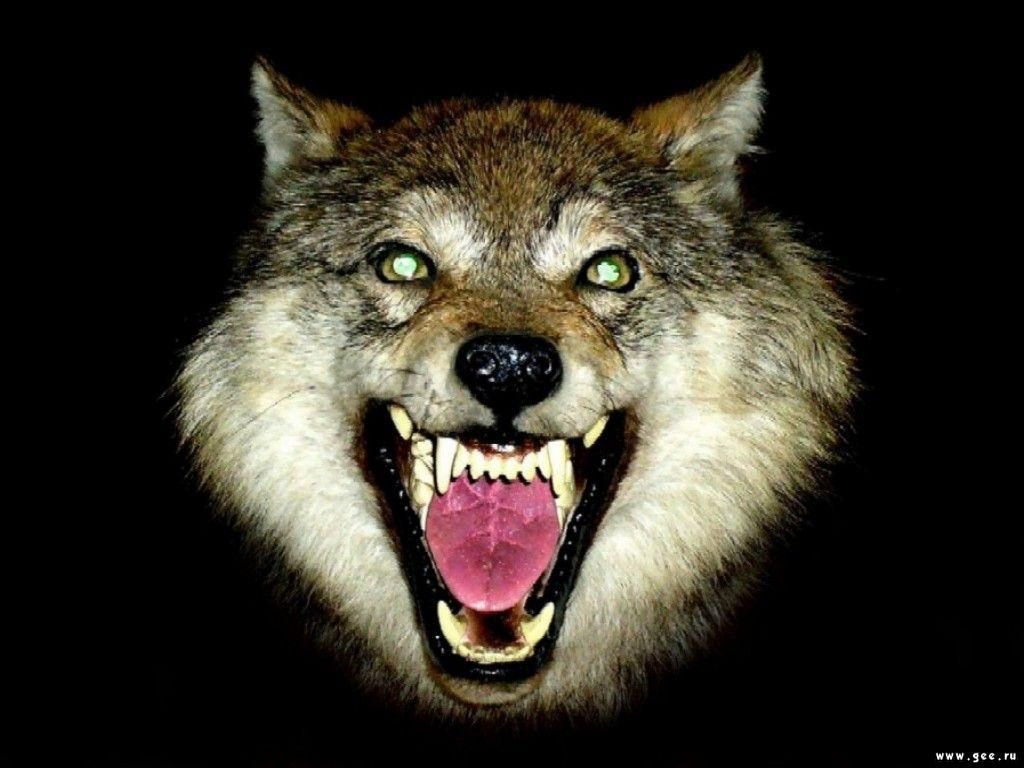 Wallpapers Wolfs Wolf S Mouth Free Pictures Hd 1024x768