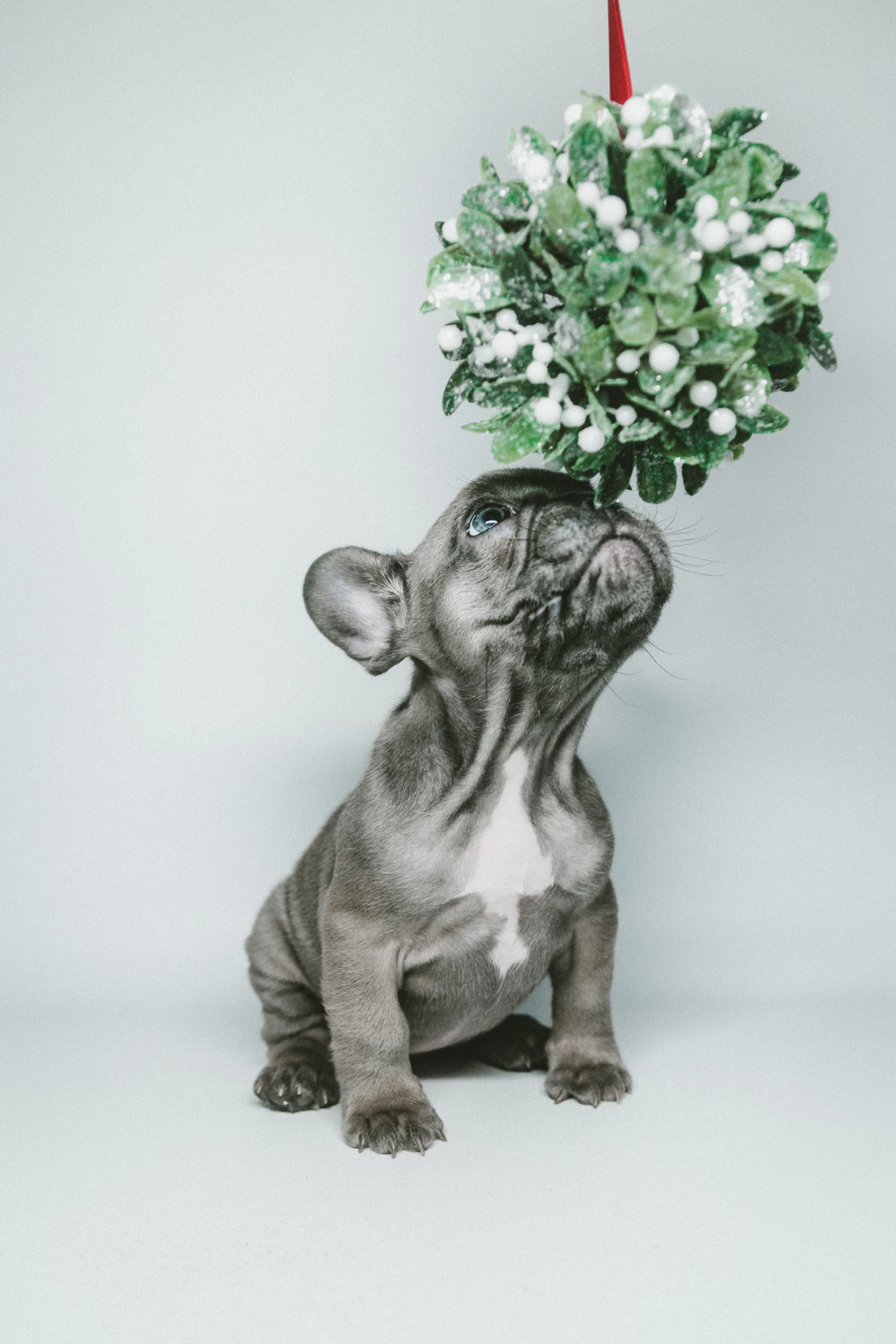 shortcoated gray puppy smelling hanging flower photo
