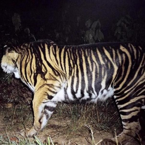 black tigers animal - photo #9