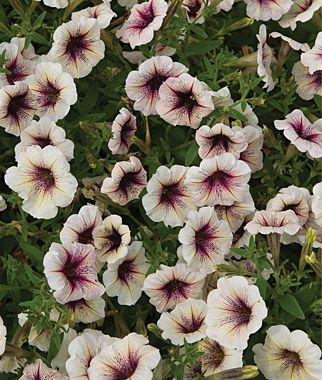 Petunia Cappuccino Petunias Outside Flower Ideas Flowers