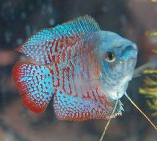 Neon Blue Dwarf Gourami Tropical Fish Store Fish Neon Blue