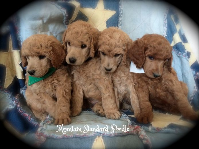 Standard Poodle Puppies 5 Weeks Old Poodle Puppy Standard