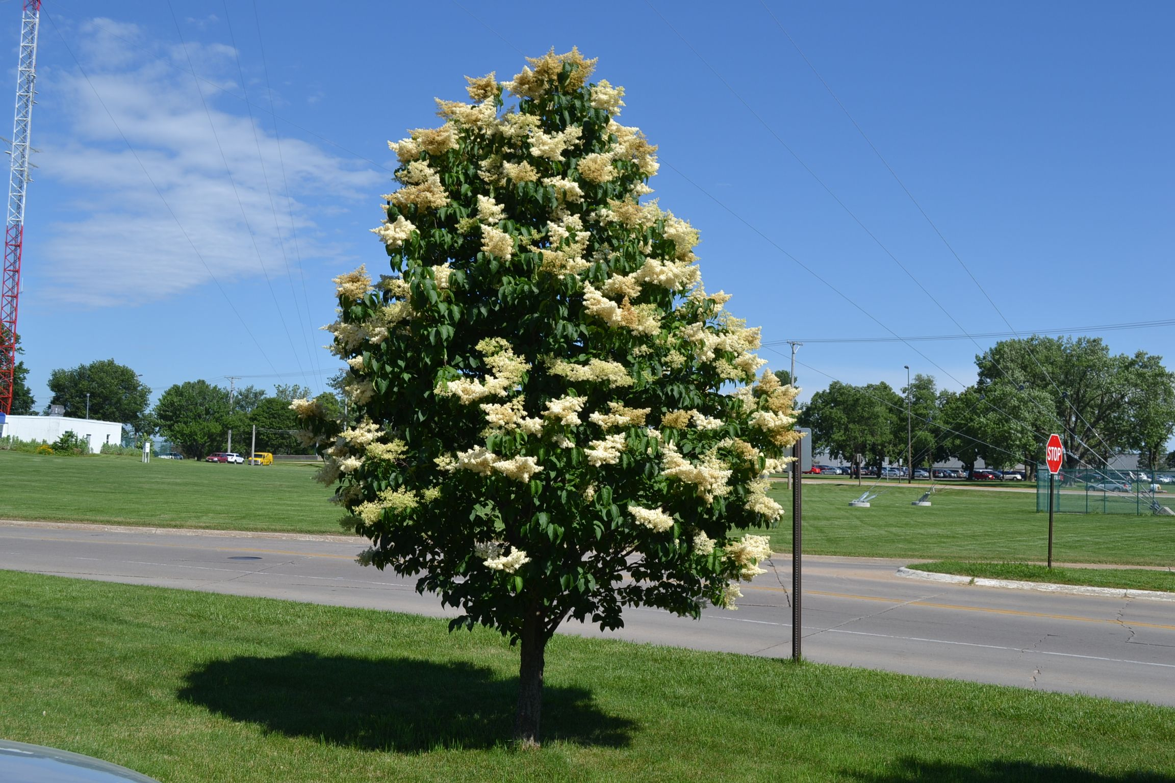 Ivory Silk Japanese Tree Lilac | Japanese tree, Lilacs and Japanese
