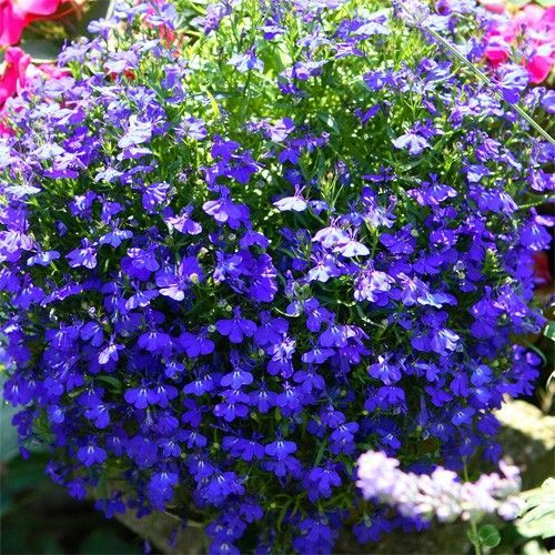 Lobelia Erinus Bedding Lobelia Blooms All Warm Weather Low Growing