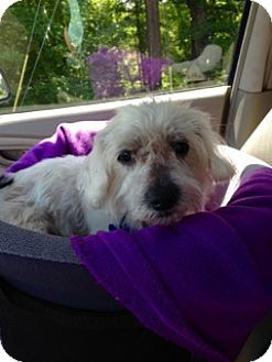 Chattanooga Tn Maltese Meet Dawson Nc A Dog For Adoption