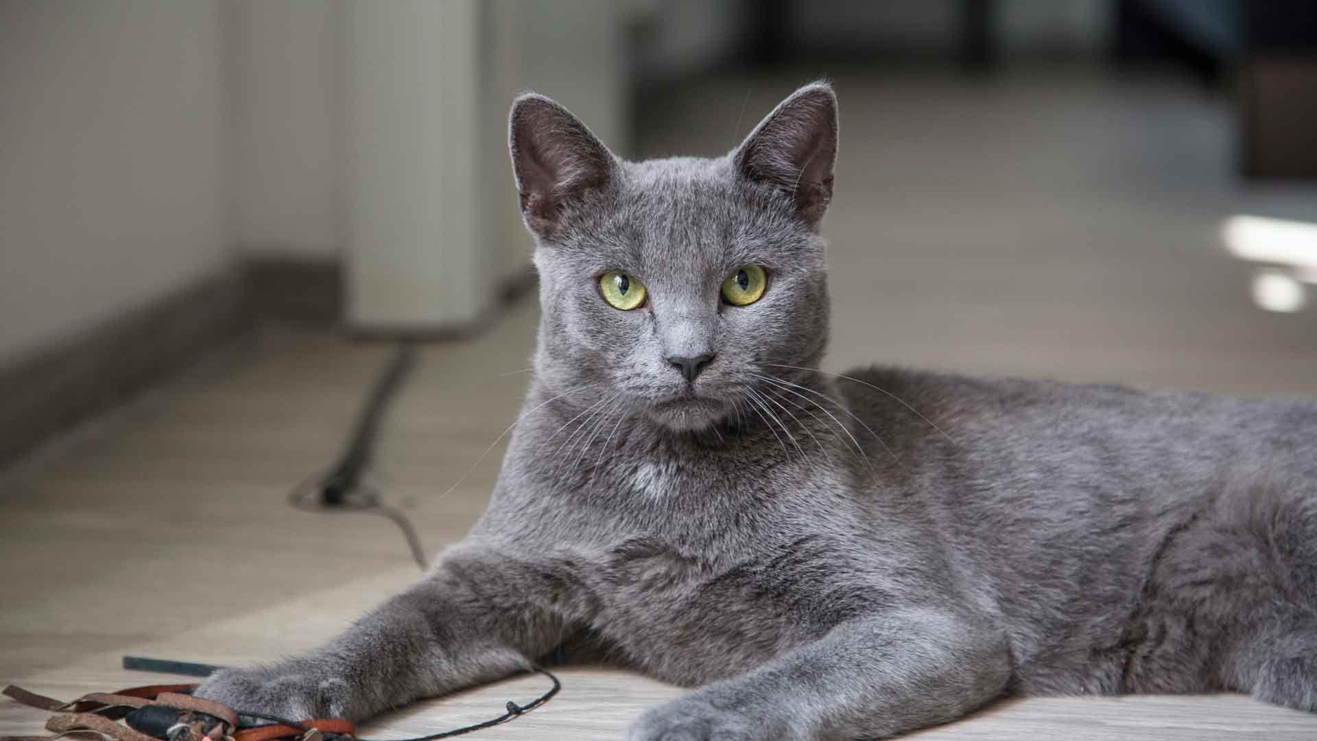El Gato Azul Ruso Es Una De Las Razas Mas Famosas Y Admiradas Del Mundo Por Su Brilloso Y Lujoso Pelaje Color Azul P Grey Cat Names Grey Kitten Names Grey