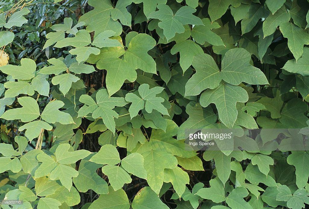 Kudzu Vine Leaves This Invasive Plant Species Is A Real Problem In Invasive Plants Plant Species Vine Leaves