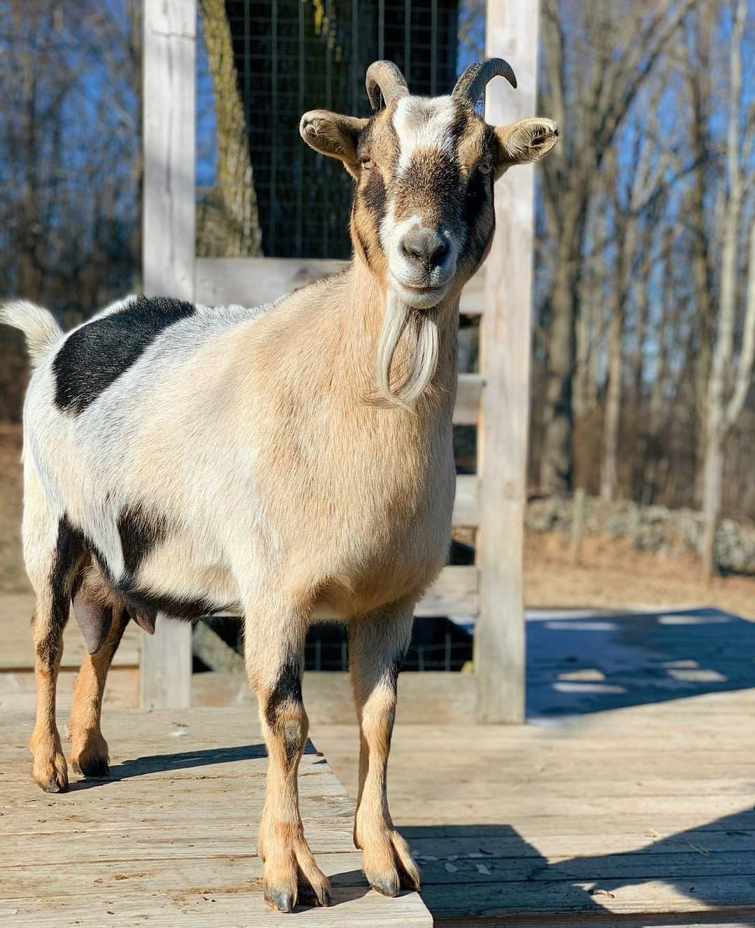 Maria From Goats Of Anarchy On Facebook In 2021 Cute Funny Animals Funny Animals Animals