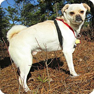 Forked River Nj Pug Mix Meet Avery A Dog For Adoption Http